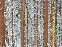 Winter scene with snowy trunks. Winter scene with snowy spruces trunks. White and brown colors Royalty Free Stock Photo