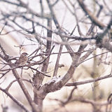Winter scene with sparrow Royalty Free Stock Photo