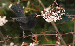 A winter scene of a stunning male Blackbird Turdus merula perched on a branch of a mountain Ash tree in a snowstorm. It has been. A winter scene of a male Stock Photo