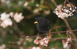 A winter scene of a stunning male Blackbird Turdus merula perched on a branch of a mountain Ash tree in a snowstorm. It has been. Winter scene of a stunning male Royalty Free Stock Image