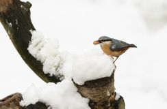 A winter scene of a stunning Nuthatch Sitta europaea perched on an old tree stump covered in snow with a nut in its beak. Winter scene of a stunning Nuthatch Royalty Free Stock Photo