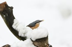 A winter scene of a stunning Nuthatch Sitta europaea perched on an old tree stump covered in snow with a nut in its beak. A winter scene of a Nuthatch Sitta Royalty Free Stock Images