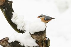 A winter scene of a stunning Nuthatch Sitta europaea perched on an old tree stump covered in snow with a nut in its beak. Winter scene of a stunning Nuthatch Royalty Free Stock Images