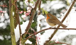 A winter scene of a stunning Robin Erithacus rubecula perched on a branch of a mountain Ash tree in a snowstorm. Stock Images