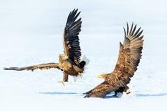 Winter scene with two birds of prey. Flying White-tailed eagle, Haliaeetus albicilla, Hokkaido, Japan. Action wildlife scene with stock photo