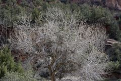 Cottonwood Tree in Winter with Silvery Branches and Pinyon Pine and Juniper Background. Winter Scene at Zion National Park with Cottonwood Tree Branches Against stock photography