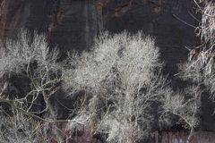 Cottonwood Trees in Winter with Silvery Branches and Dark Background of Redrock Cliffs. Winter Scene at Zion National Park with Cottonwood Tree Branches Against stock images