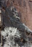 Cottonwood Trees in Winter with Rugged Redrock Cliffs at Zion NP in Utah. Winter Scene at Zion National Park with Cottonwood Trees Silvery Against Rugged Redrock stock photo