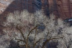 Cottonwood Trees in Winter with Waterfall and Redrock Cliffs. Winter Scene at Zion National Park with Waterfall and Cottonwood Trees Silvery Against Redrock stock photography