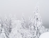 Winter Scenery. Snowy trees in a forest on a foggy day Royalty Free Stock Image