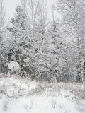 Winter scenery, closeup. White skies, white ground, snowy trees Royalty Free Stock Photography
