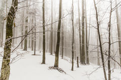 Winter scenery in the forest with birch trees and fog Royalty Free Stock Photography
