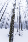 Winter scenery in the forest with birch trees and fog Royalty Free Stock Photo