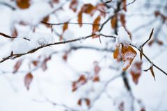Winter scenery forest branches with orange dead frozen leaves covered up with snow. Close up Stock Photography