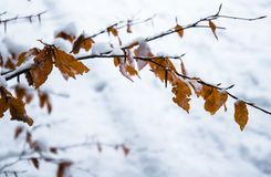 Winter scenery forest branches with orange dead frozen leaves covered up with snow. Close up Royalty Free Stock Photos