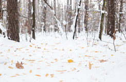 Winter scenery in the forest. Royalty Free Stock Photography