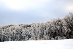 Winter scenery. Forest tree covered in snow Royalty Free Stock Photos