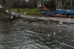 Sea gull at lake shore on a winter day with pathway and person walking in background stock images
