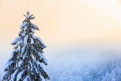 Winter scenery with snow covered spruce tree Stock Photo