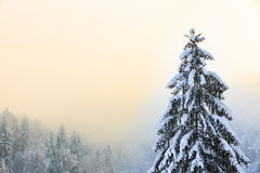 Winter scenery with snow covered spruce tree Royalty Free Stock Photo