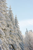 Winter scenery with snow spruces Stock Photography