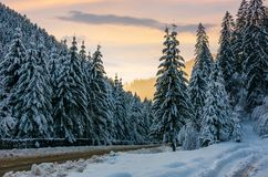 Winter scenery in spruce forest. Beautiful nature background in evening Royalty Free Stock Photography