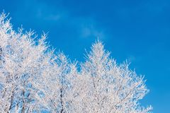 Winter scenery with tree in hoarfrost. Bright sunny morning with clear blue sky background stock photos