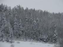 Winter scenery. White skies, white ground, snowy trees Royalty Free Stock Images