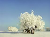 Winter scenery of white willows on the field Stock Images
