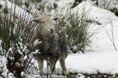 Winter-Schafe Lizenzfreie Stockfotografie