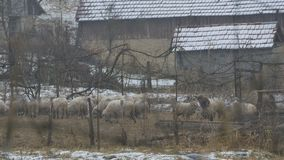 Winter-Schafe im Yard stock video