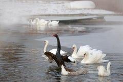 Winter Schwarzweiss-Schwäne, die in einem Teich schwimmen Lizenzfreie Stockfotos