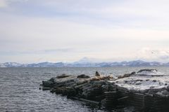 Winter seascape with rookery of Northern Sea Lion o royalty free stock photography