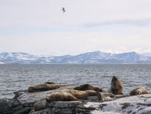 Winter seascape with rookery of northern sea lion. Stock Images