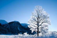 Winter season. Tree covered with snow backlit by the sun in rural environment at winter in Norway Stock Photos