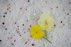 Winter season flower photography image with yellow pansy flowers laid in snow and sprinkled with small silver color stars Royalty Free Stock Photo