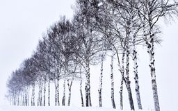 Seven Star Trees in Hokkaido, Japan stock photos