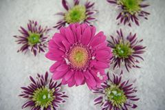 Winter season photography picture of fresh gerbera daisy pink flower and purple green flowers in snow in the background. Winter photography picture of fresh cut Stock Image