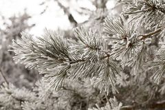 Winter season. Pine needles covered with frost of white color. A photograph in the winter season during cloudy weather. The sky is white Royalty Free Stock Photo