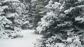 Winter season. Snowy fir trees are in snowstorm. stock video footage