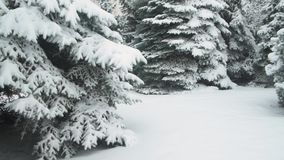 Winter season. Snowy fir trees are in snowstorm. stock video