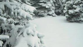 Winter season. Snowy fir trees are in snowstorm. Winter season. Snowy fir trees are in snowstorm stock video footage