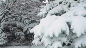 Winter season. Snowy fir trees are in snowstorm. Winter season. Snowy fir trees are in snowstorm stock footage