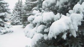 Winter season. Snowy fir trees are in snowstorm. stock footage