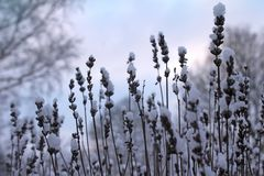 Winter Season Snowy Nature Lavender Plant Background. Snow covered Lavender plant flower heads during a winter dawn. Interesting seasonal nature background royalty free stock photos