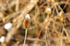 Winter seed pod with white snow Royalty Free Stock Photo