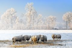 Winter sheep Royalty Free Stock Image
