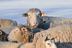 Winter Sheep Royalty Free Stock Photography