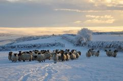 Winter sheep Royalty Free Stock Photo
