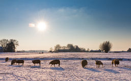 Winter sheep Royalty Free Stock Images